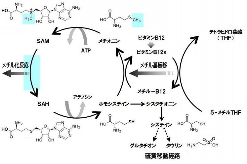 メチル基転移反応を触媒する酵素の補酵素として働くことを示す図