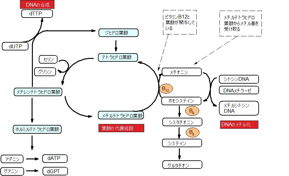 B9 葉酸はDNA合成にも関わることを示す図
