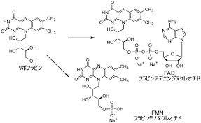 リボフラビンのFAD FMDへの変換を示す図