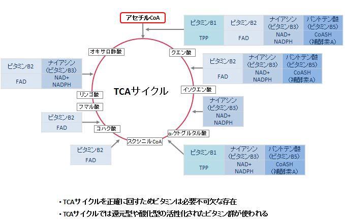 FAD FMDがTCA回路 電子伝達系の各種反応に関与することを示す図