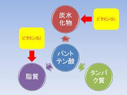 ビタミンB1 B2と協力して三大栄養素の代謝反応を促進することを示す図