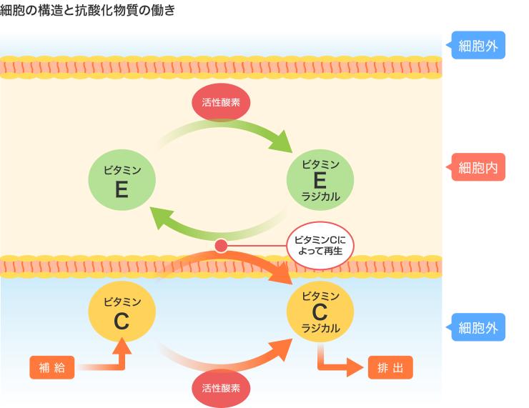 ビタミンEとビタミンCの協調作用をまとめた図