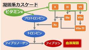 血液凝固への関与を示す図