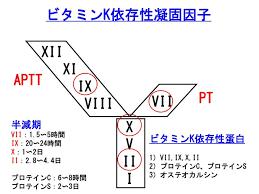 凝固Ⅱ因子(プロトロンビン)を合成・活性化することを示す図