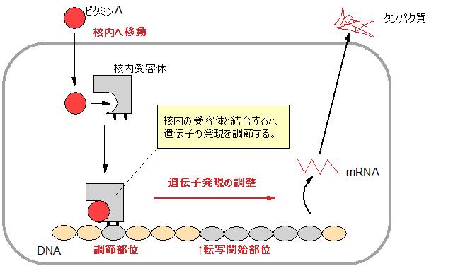 ビタミンAのレチノイン酸の転写因子としての機能を示す図