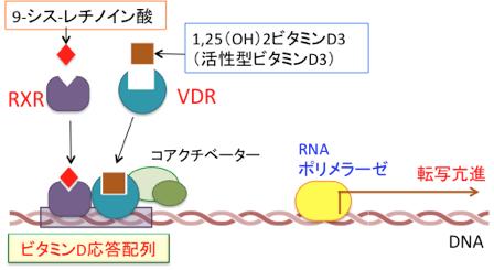 ビタミンDのレチノイン酸の転写因子としての機能を示す図