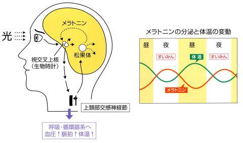 メラトニン分泌の日内変動について説明した図