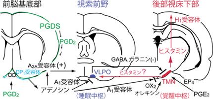 GABAが皮質を覚醒するヒスタミン系 モノアミン系 アセチルコリン系の働きを抑制する機序を説明した図