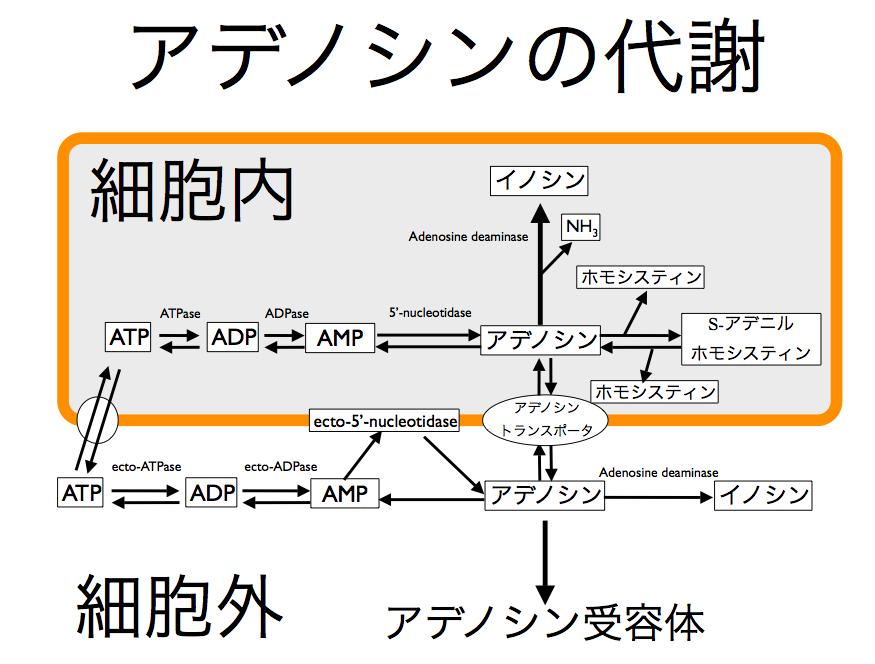 アデノシンとATP代謝の関係を示す図