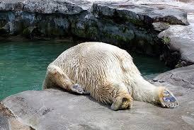 水に頭を落として吐いているように見えるシロクマ