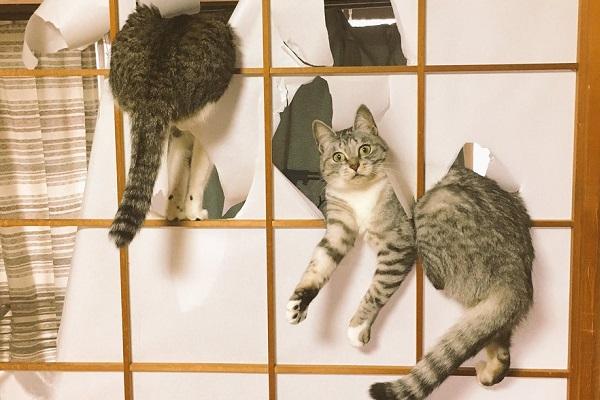 障子を破くネコ