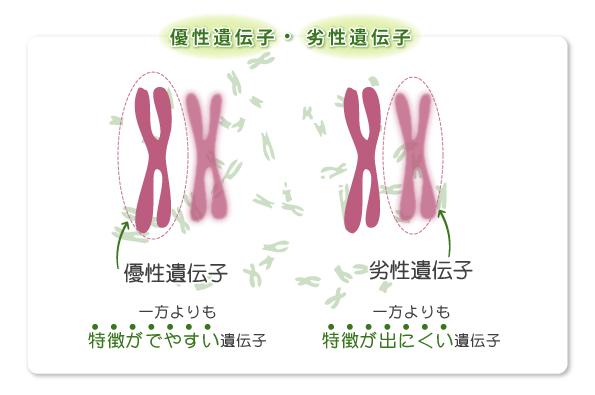 優性遺伝子 劣性遺伝子を解説する図