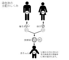 両親から染色体を受けついで子供の染色体になることを説明する図