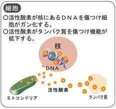 活性酸素がタンパク質を傷つけて機能が落ちたことを示す図