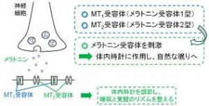 メラトニンの作用機序を示す図