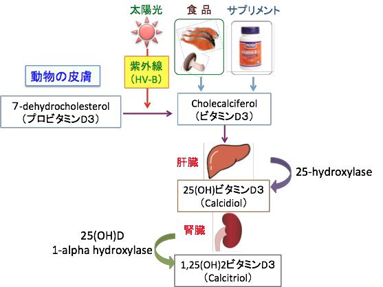 活性型ビタミンD3になる過程を示す図
