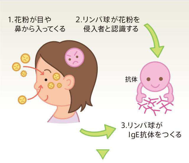 侵入してきたアレルゲンによりIgE抗体が作られる過程を示した図