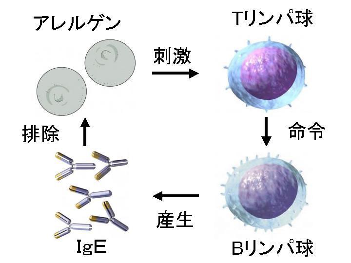 ヘルパーTリンパ球がBリンパ球を助けてIgE抗体が産生されることを示す図