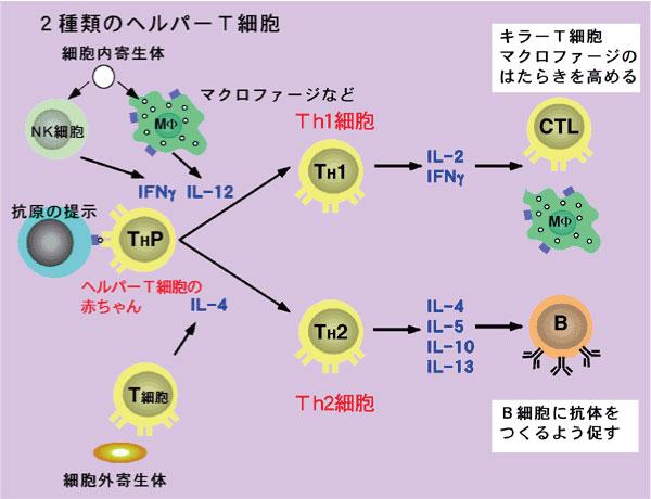 2種類のヘルパーTリンパ球の説明図