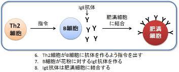 IgE抗体が作られる過程を示す図