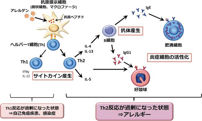 アレルギー反応に関わるサイトカインについてまとめた図