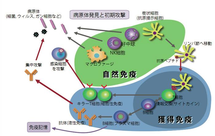 自然免疫と獲得免疫について説明した図