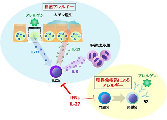 自然型アレルギーについて説明した図