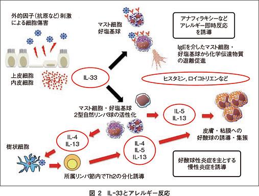 IL-33の働きを示す図