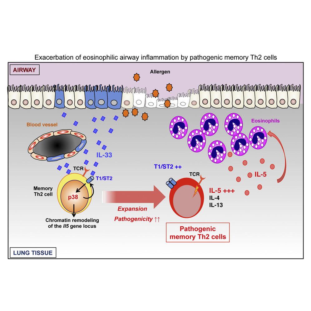 IL-33のPathogenic Th2誘導への関与を示す図