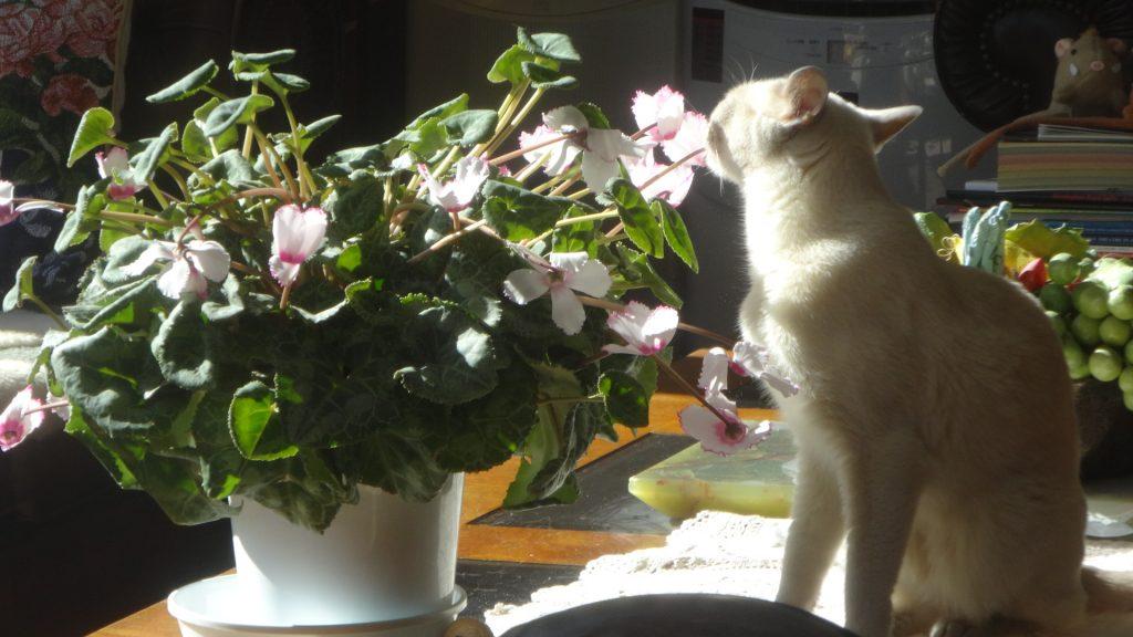 シクラメンを齧る楓