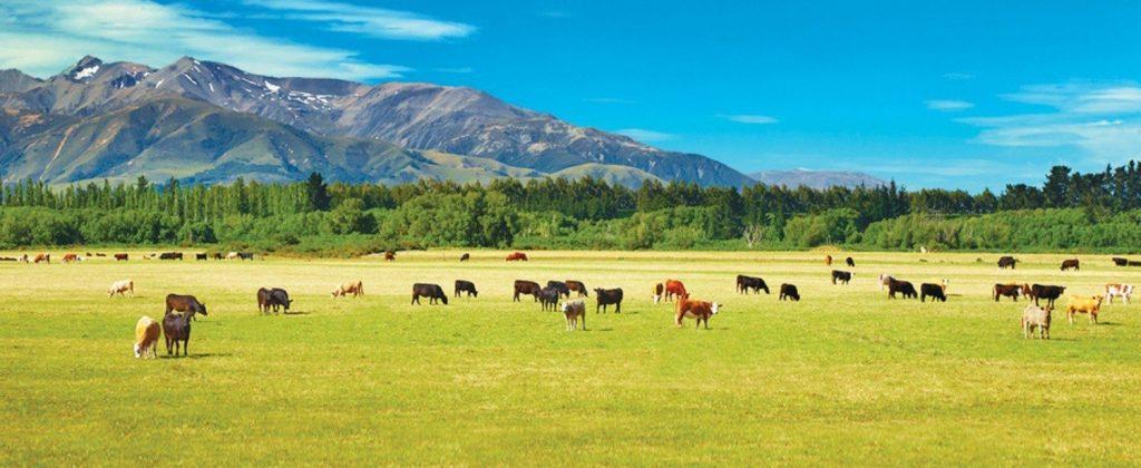 ニュージーランドの広大な自然の中で放牧される牛