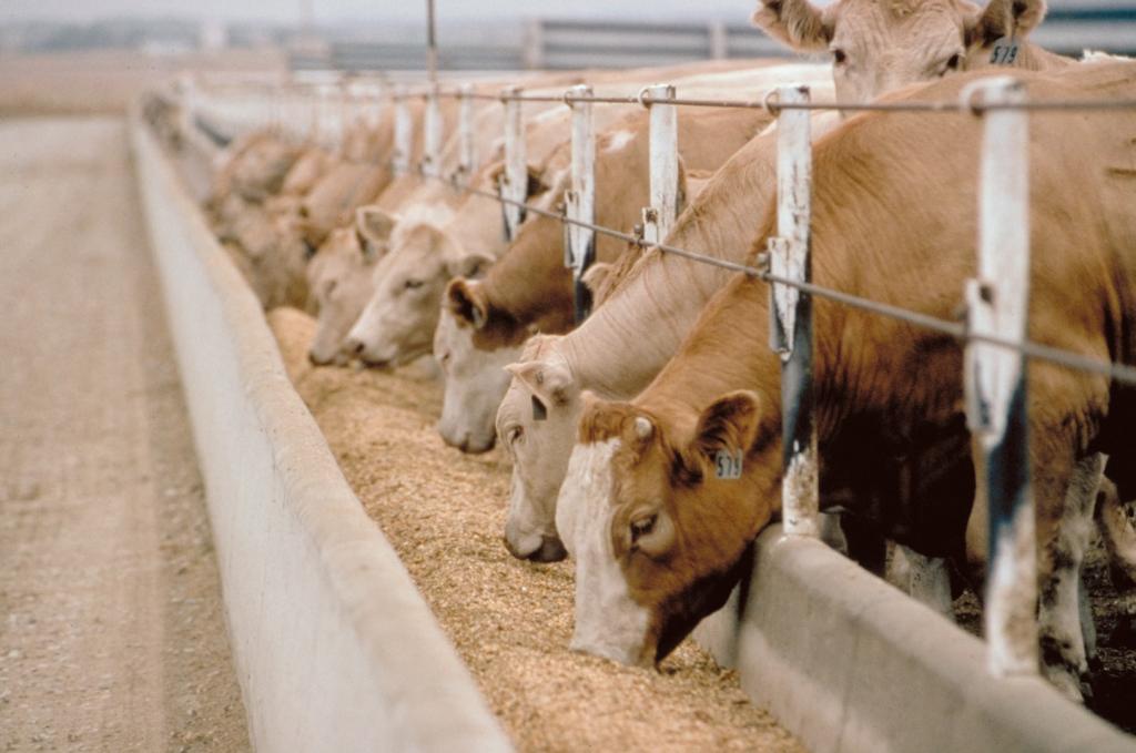 狭い牛舎で人工飼料を食べる牛