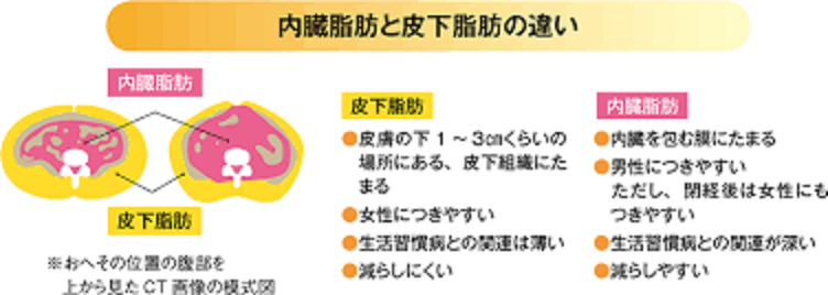内臓脂肪と皮下脂肪の差異を示した図
