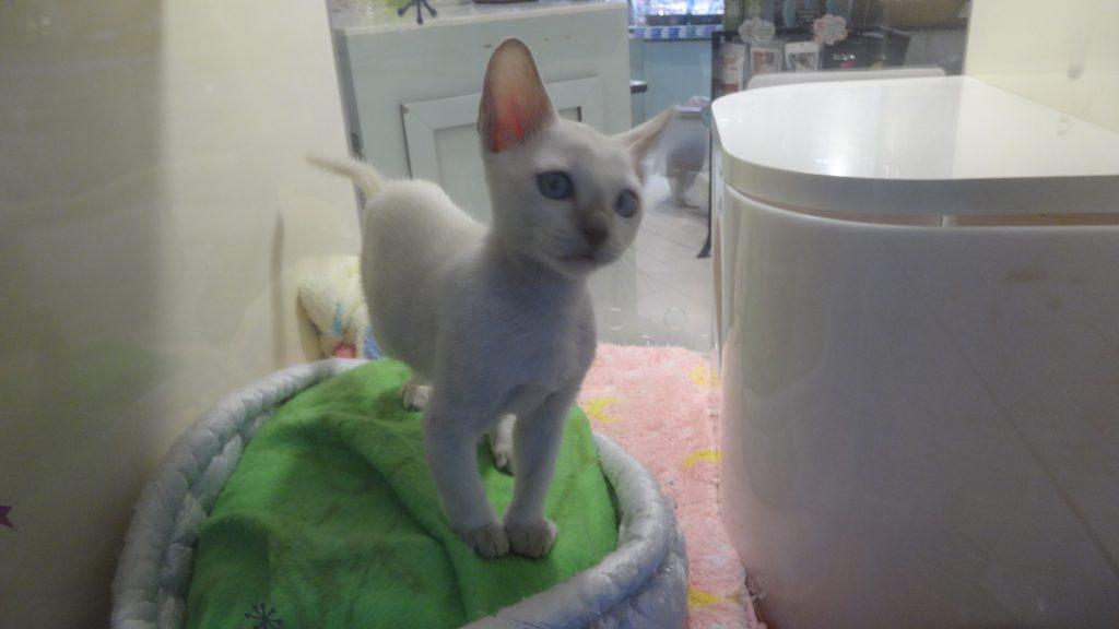 トンキニーズの子猫