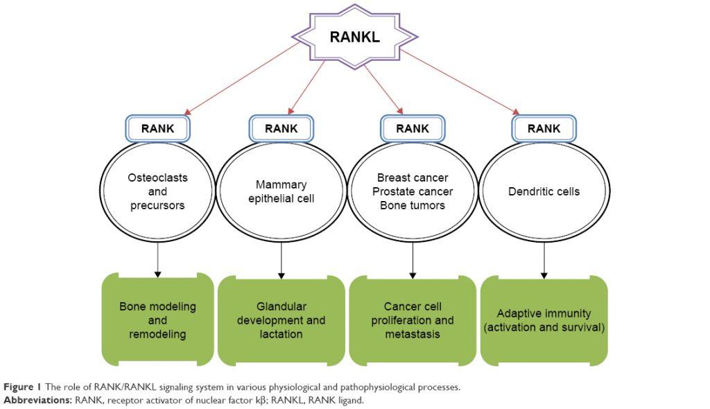 RANKLが示すさまざまな作用のまとめ