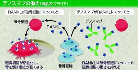 """完全ヒト型抗RANKL抗体の作用機序の解説図"""""""""""