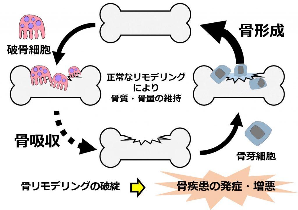 骨のリモデリングを解説した図