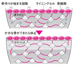 ライニング細胞 骨細胞の関与