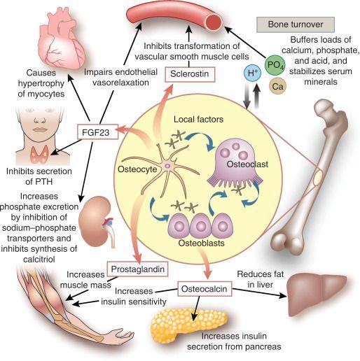 骨と糖・脂質代謝の相互作用