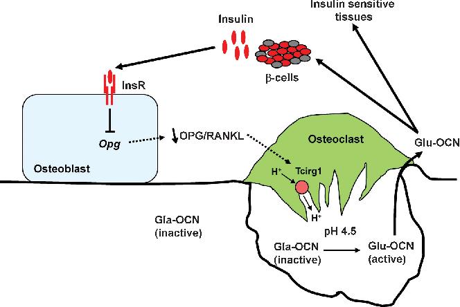 インスリンの骨芽細胞への作用を解説した図