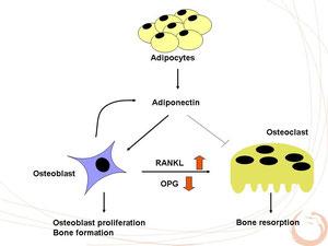 アデイポネクチンの破骨細胞への作用をまとめた図