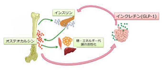 オステオカルシンとGLP-1の相互作用の解説図