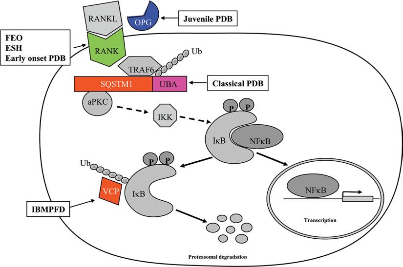 RANKLのNFkBを介した炎症誘導の解説図