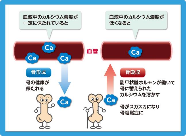 カルシウムと骨形成 骨吸収の関連を解説した図
