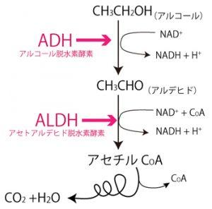アルコール代謝におけるNADの補酵素そしての働き