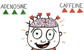 カフェインのアデノシン抑制作用2