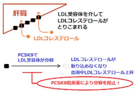 PCSK9によるLDL受容体の分解の図示
