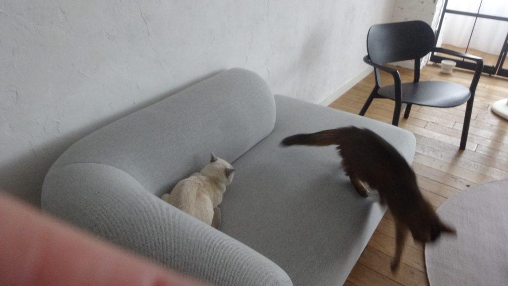 ソファーから飛び降りるローズ