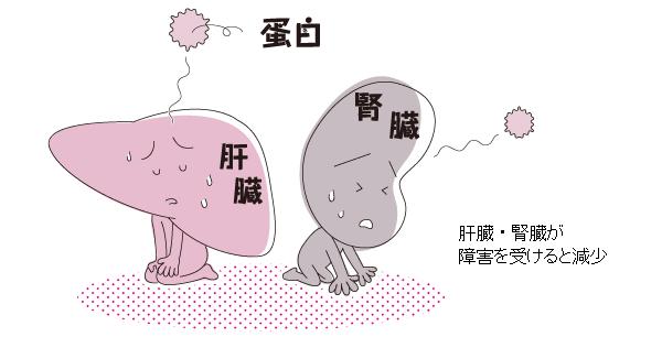 肝臓 腎臓の機能低下で血中総タンパク量が低下することを示す図