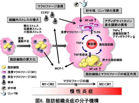 細胞内ストレスによる慢性炎症誘導を示す図